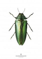 New Collection Print Beetle B9: click to enlarge